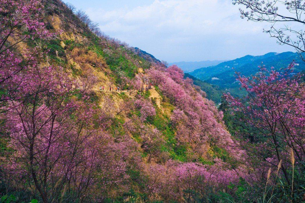 熊空櫻花林的昭和櫻花海。 朱家瑩/攝影