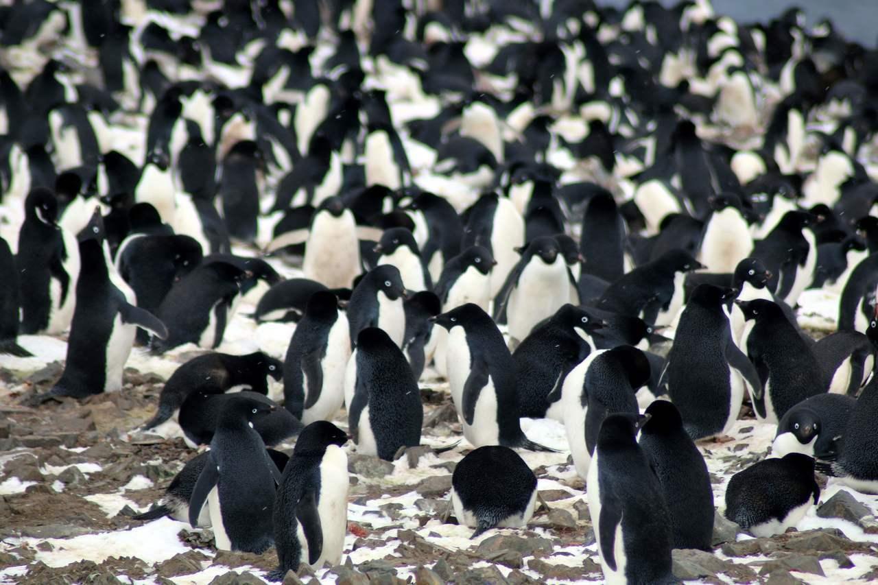 科學家2日宣布,在南極洲東部的危險群島發現約150萬隻阿德利企鵝。法新社