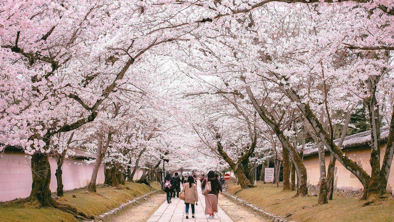 醍醐寺櫻花盛開的浪漫。 圖/有行旅提供