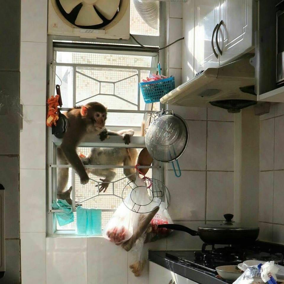 大聖爺大鬧大圍美城苑。網上流傳兩張攝於大圍美城苑單位內廚房的照片,照片中兩隻猴子...