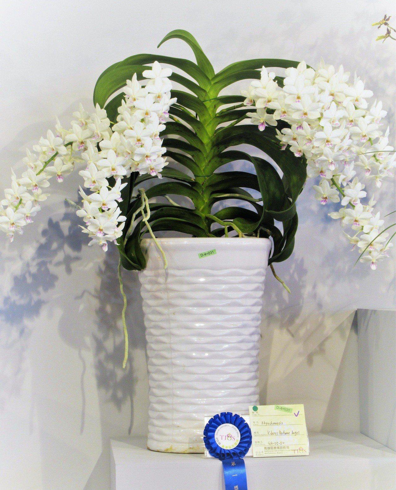 由高雄農改場培育的白花狐狸尾蝶蘭「香水天使」,一舉拿下「其化蘭屬」第一獎。圖/高...