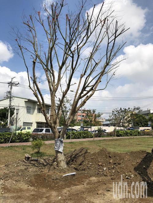 原本高80公分的青楓樹栽種16年後,現已長到6公尺。記者余采瀅/攝影