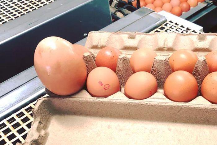 這顆蛋(左)大得出奇。史托克曼雞蛋農場(Stockmans Eggs)提供