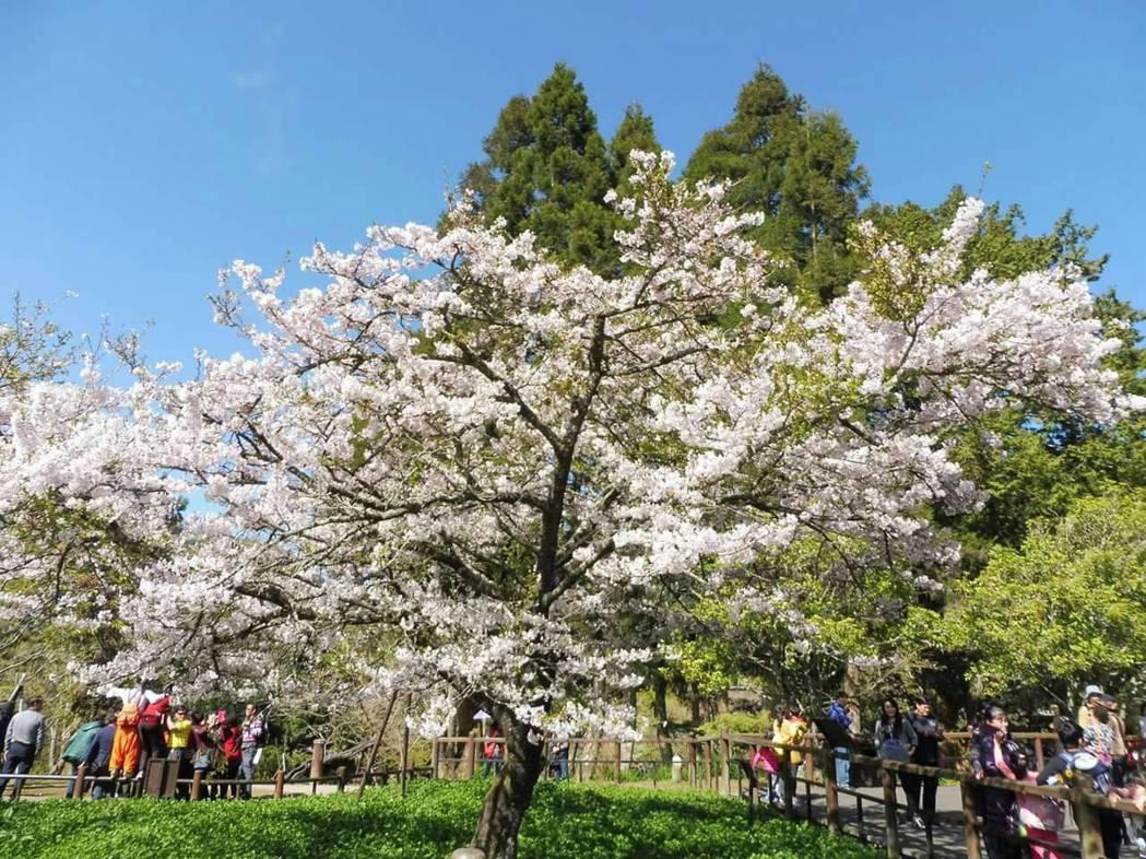 阿里山櫻花季本月15日至4月10日登場。圖片/本報資料照片