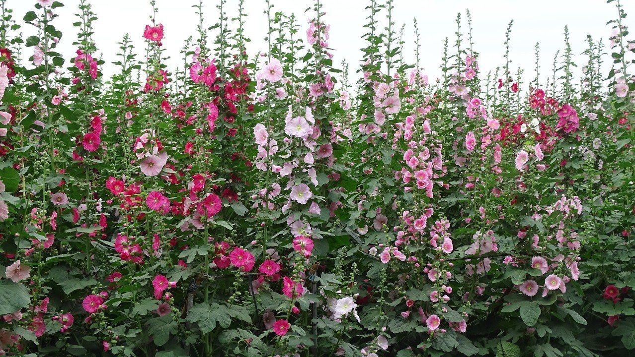 彰化縣員林市南區公園的蜀葵花花期可維持到4月底。 記者何烱榮/攝影