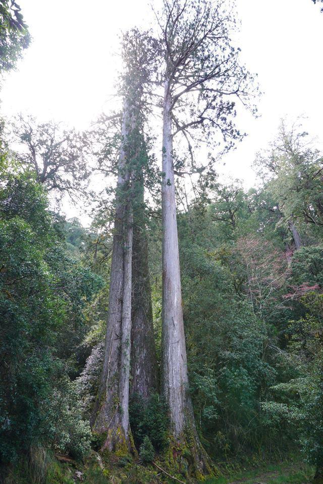 越野馬拉松沿途可欣賞壯闊神木群,其中170林道12公里處的臺灣杉三姊妹,是此行最...