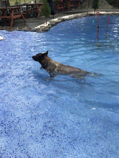 退役搜救犬Roger都會到游泳池游泳。 圖/林佳君提供