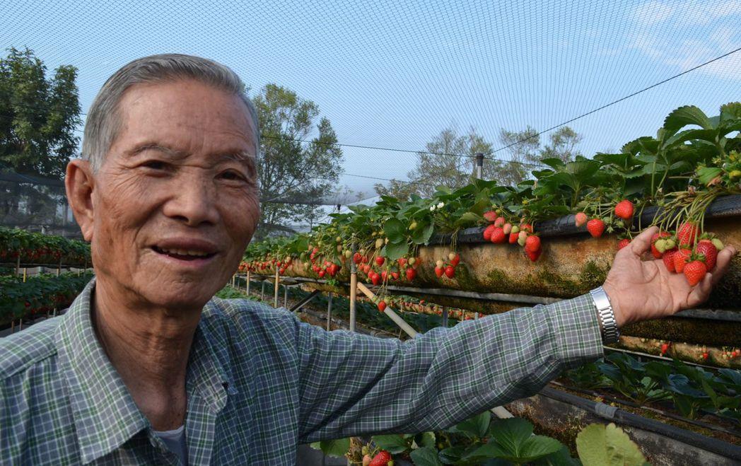 美裕草莓園黃得山經營草莓園30餘年,栽培出碩大的草莓果。 陳慧明 攝影