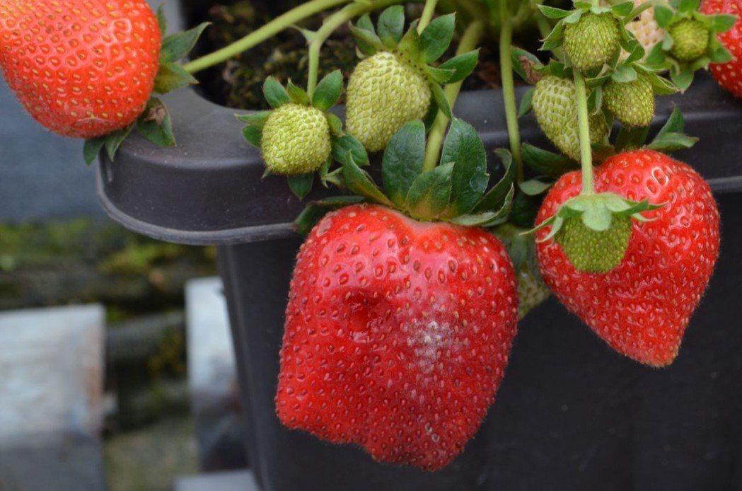 美裕草莓園草莓鮮紅碩大。  陳慧明 攝影