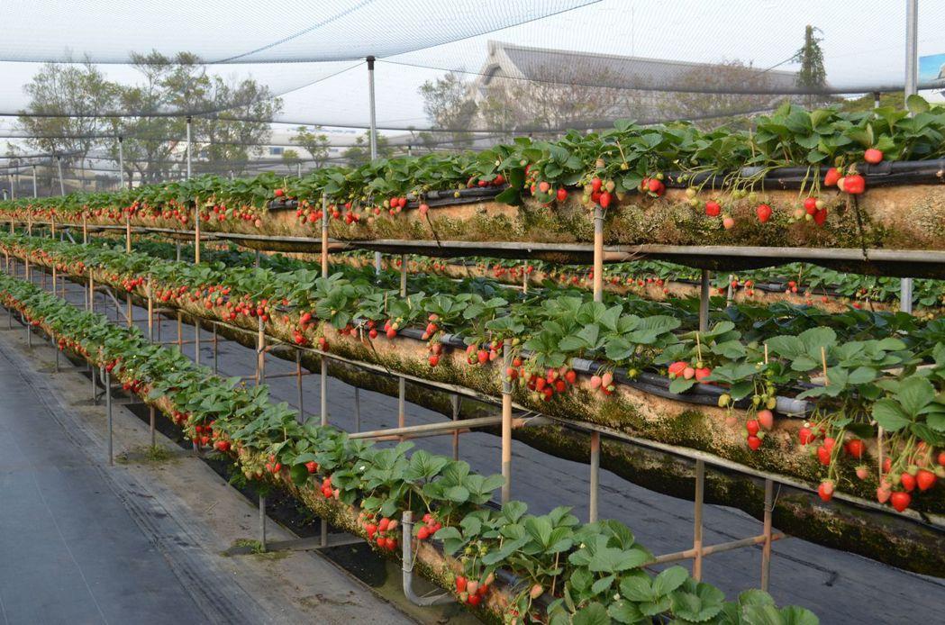 美裕高架草莓園正進入草莓盛產期。  陳慧明 攝影