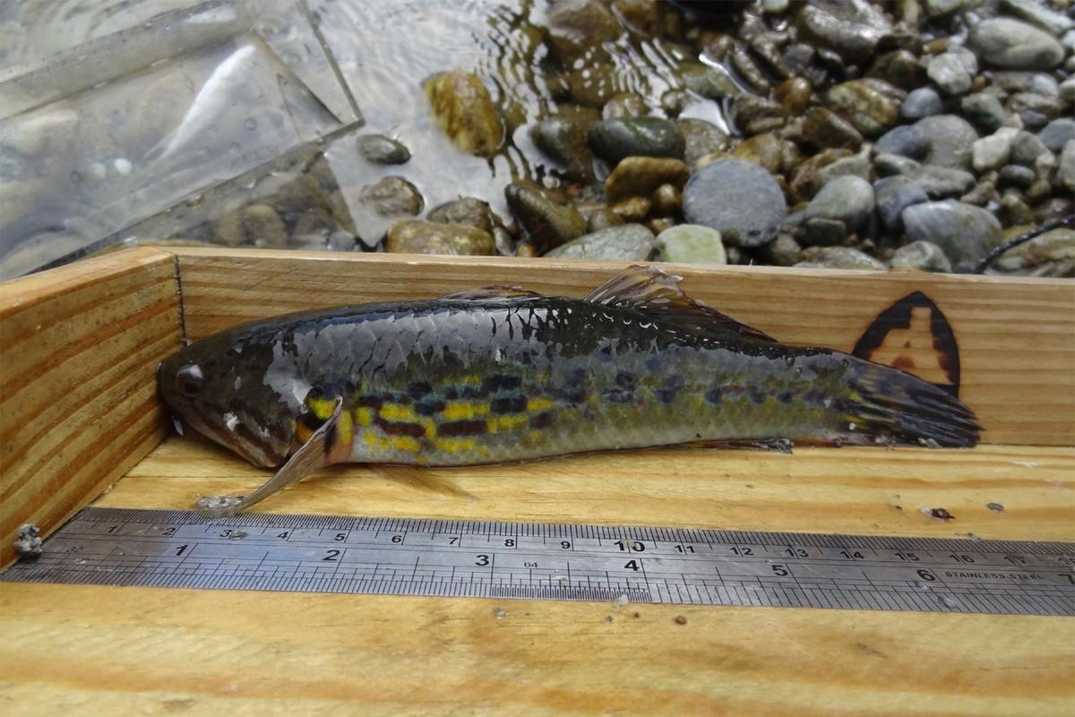 花蓮林管處在新城鄉三棧溪進行溪流魚類調查,去年11月,同仁在三棧溪調查溪流魚類時...