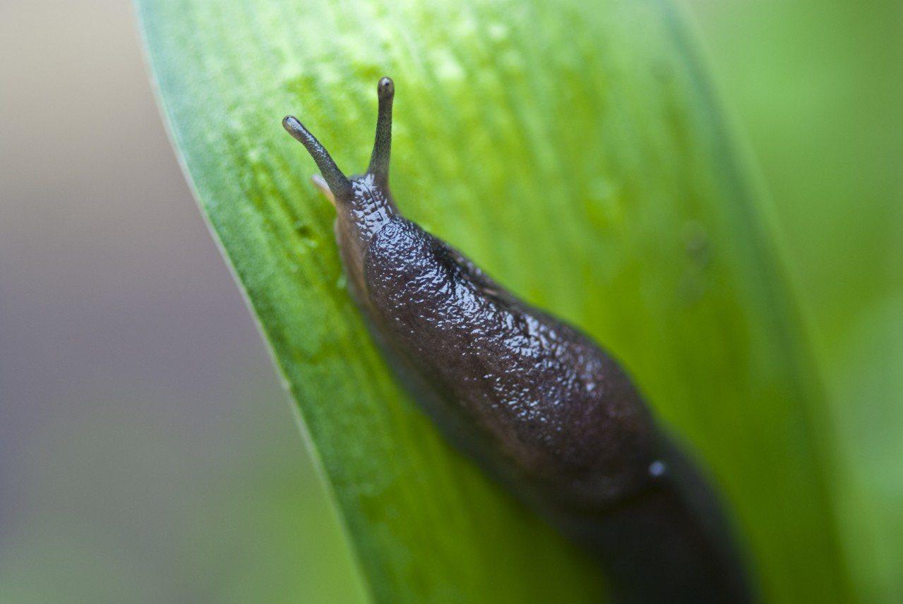 示意圖。「廣東住血線蟲」(Rat Lungworm)原在囓齒動物身上發現,但蝸牛...