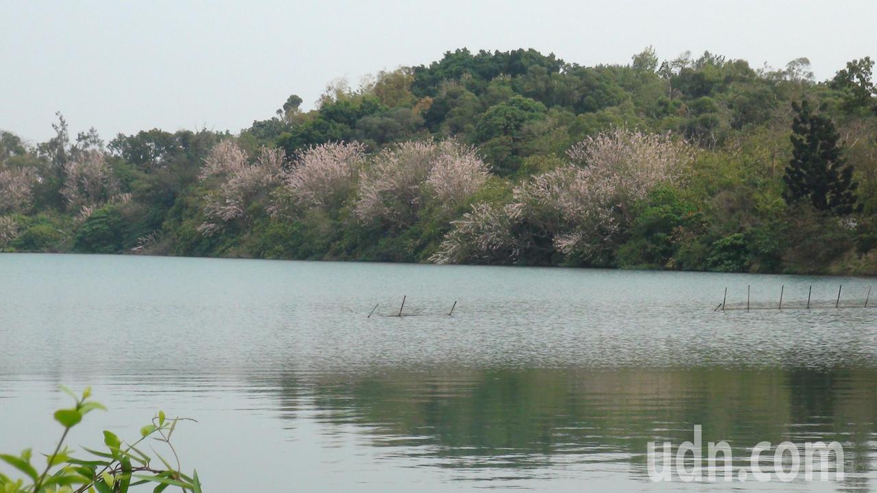 澄清湖畔的南洋櫻,目前正盛放。記者王昭月/攝影