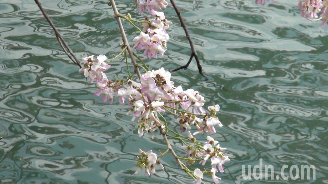 垂落湖邊的南洋櫻,風情別具。記者王昭月/攝影