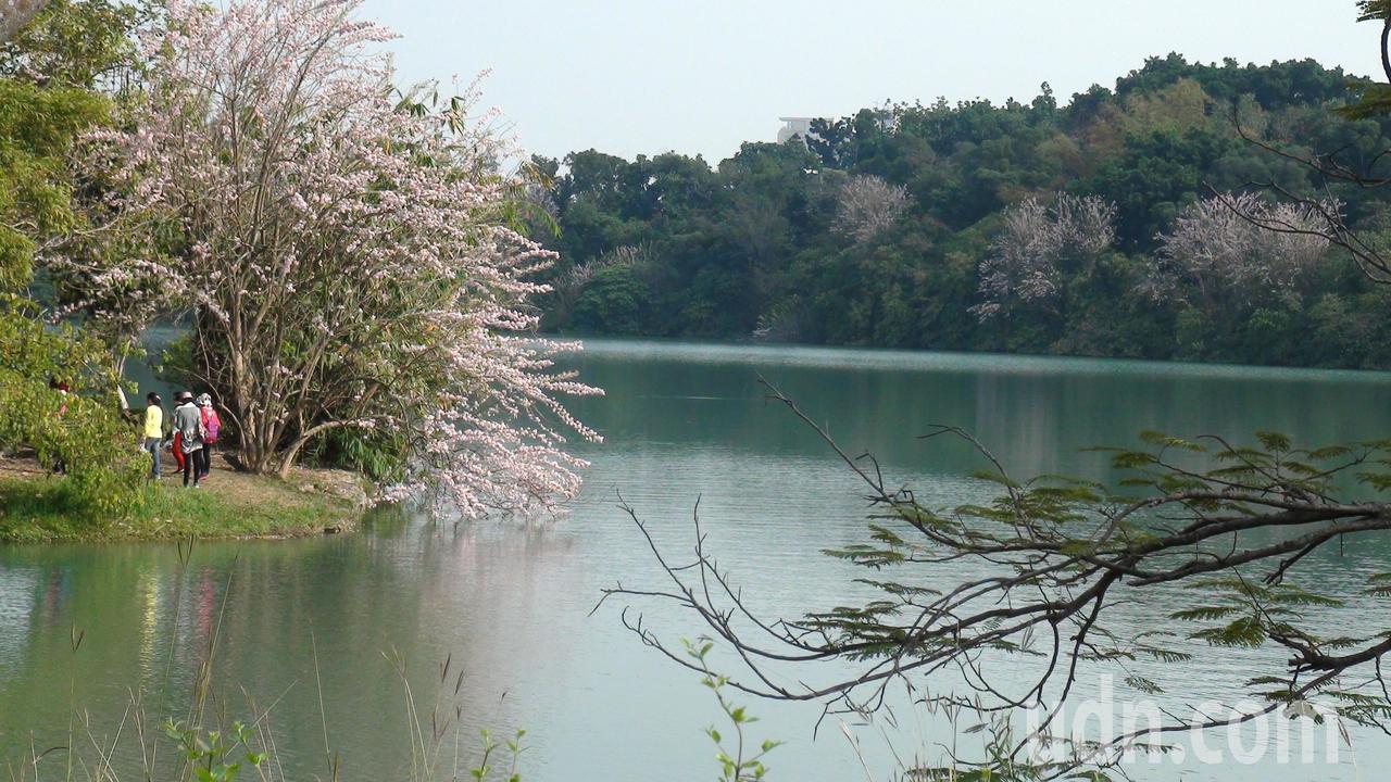 三月的澄清湖,南洋櫻盛放,景致怡人。記者王昭月/攝影