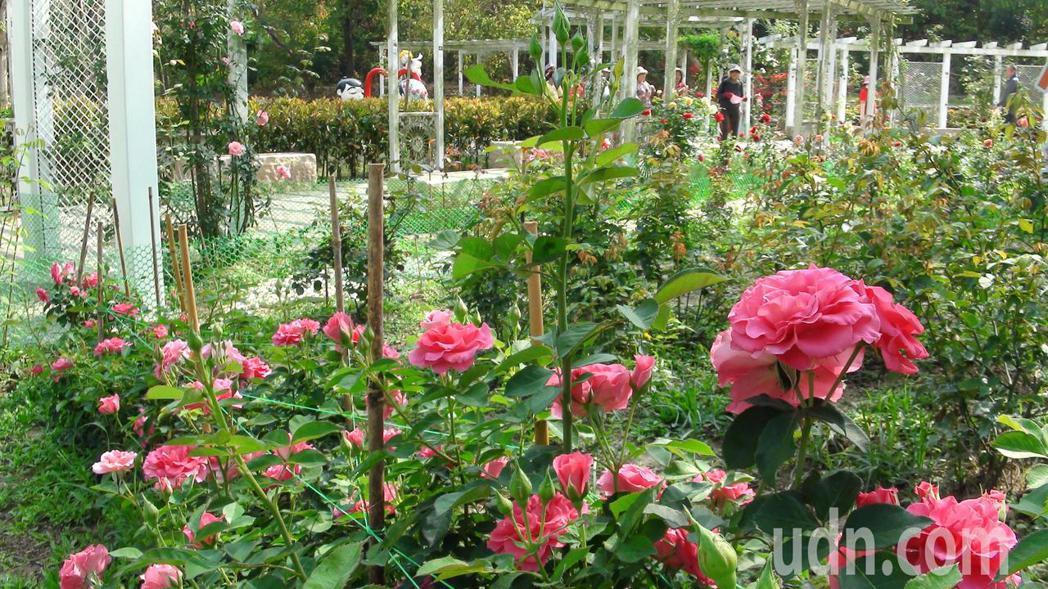 幸福花園共植70種,近400朵玫瑰。記者王昭月/攝影