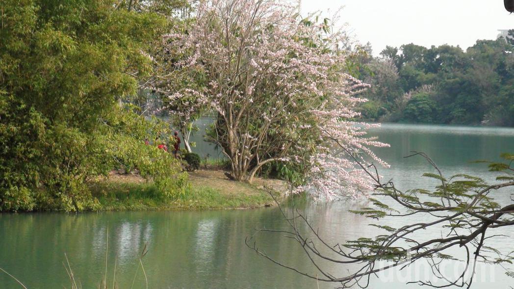 澄清湖畔廣植南洋櫻,3月花季,綻放醉人丰采。記者王昭月/攝影