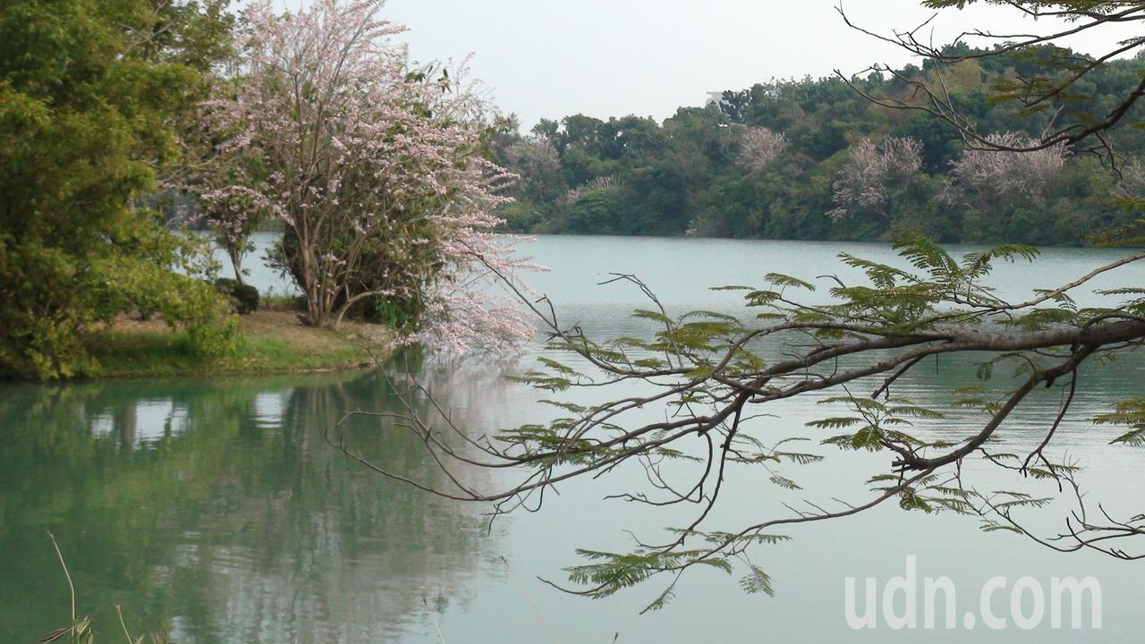 往雙連亭方向的這株南洋櫻,堪稱「花王」。記者王昭月/攝影