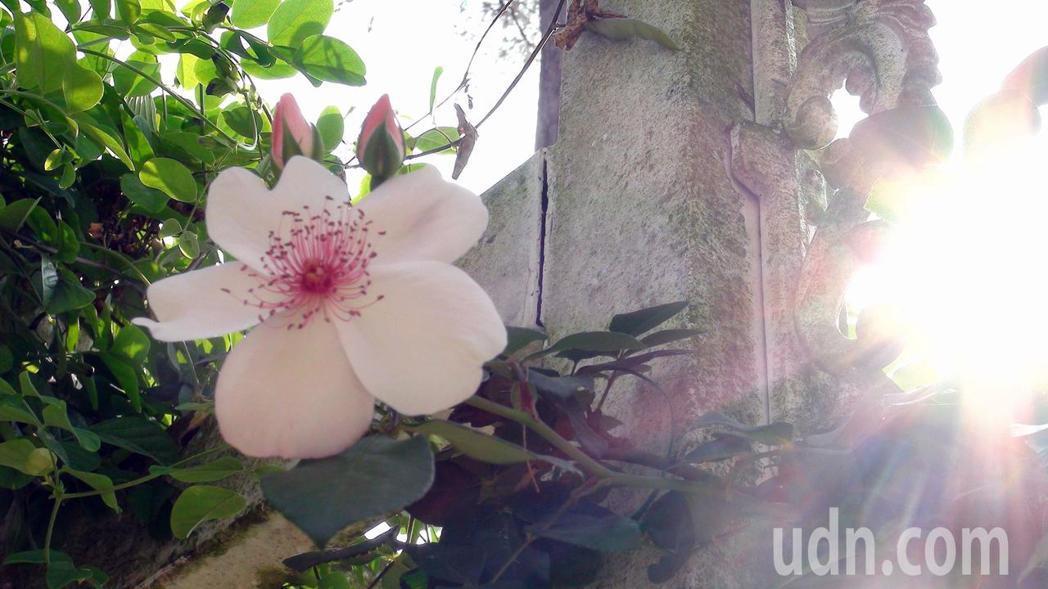 單瓣的玫瑰映著陽光,活力四射。記者王昭月/攝影