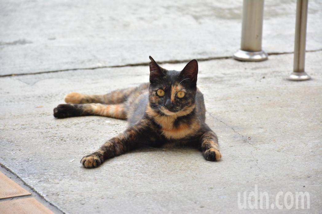 台南左鎮衛生所的流浪貓「玳瑁」,取名是因身上毛色。記者吳淑玲/攝影