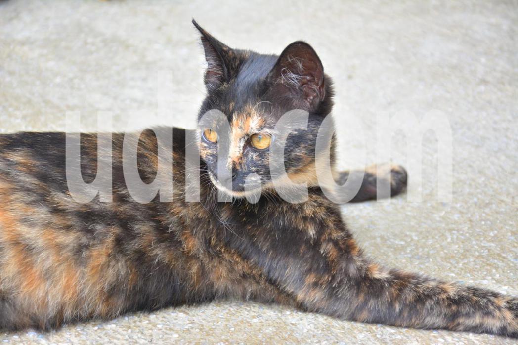 台南左鎮衛生所的流浪貓「玳瑁」,出生就被棄置,被照顧得很好,毛色像玳瑁十分光亮。...
