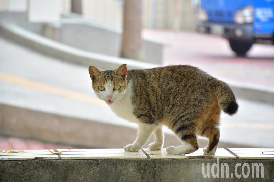 台南左鎮衛生所的流浪貓「豆豆」,尾巴短是特徵。記者吳淑玲/攝影