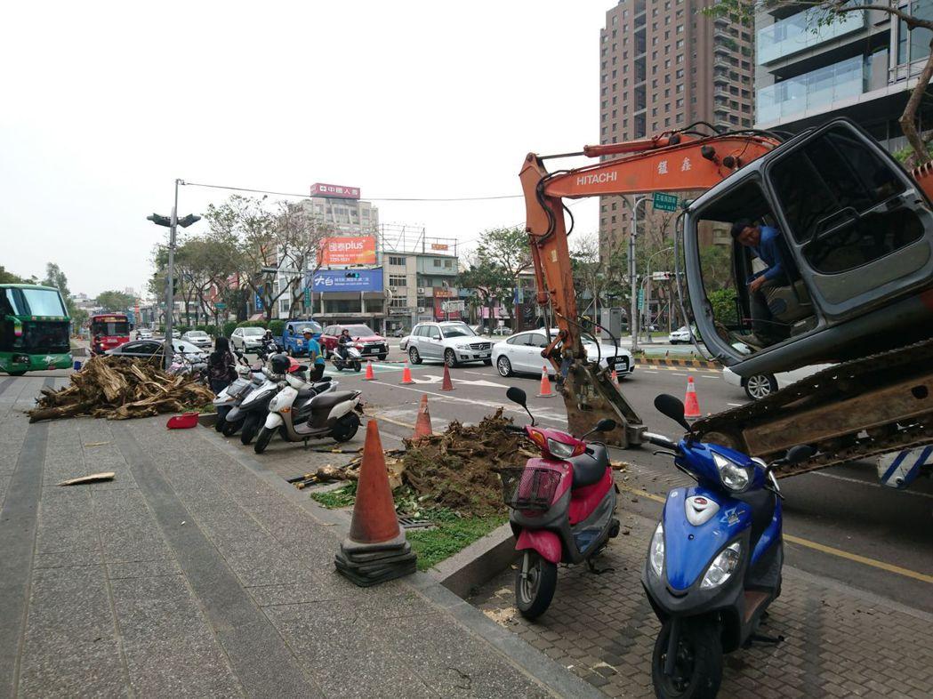 國美館前、草悟道、美術園道的黑板樹開始移除。 記者喻文玟/攝影