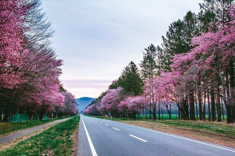 北海道二十間道路櫻並木 KAYAK/提供