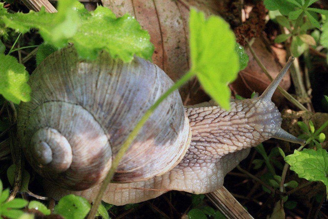 預防廣東住血線蟲,應避免生食或食用未煮熟的螺類與蝸牛。 圖片/ingimage