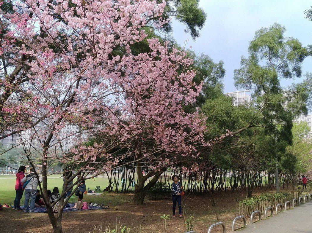 林口社區運動公園旁許多櫻花盛開,林口區長朱思戎歡迎大家把握花期,前來林口遊玩,欣...