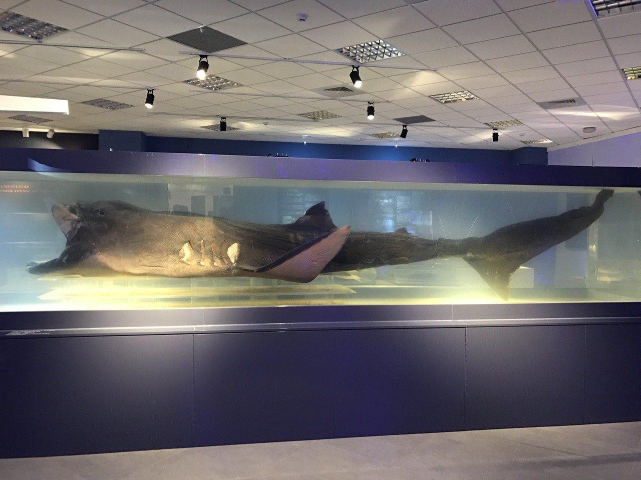 國立海洋科技博物館研究典藏中心的鎮館之寶,4公尺長的巨口鯊標本,讓人驚嘆連連。記...