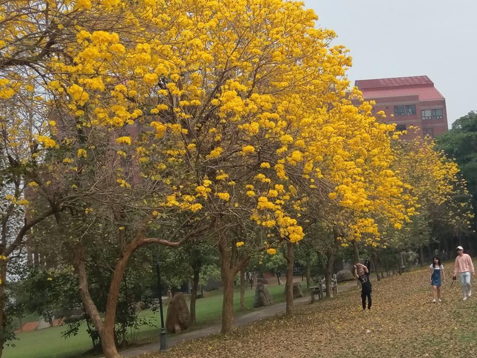 中正大學的黃花風鈴木。圖/黃春榮提供