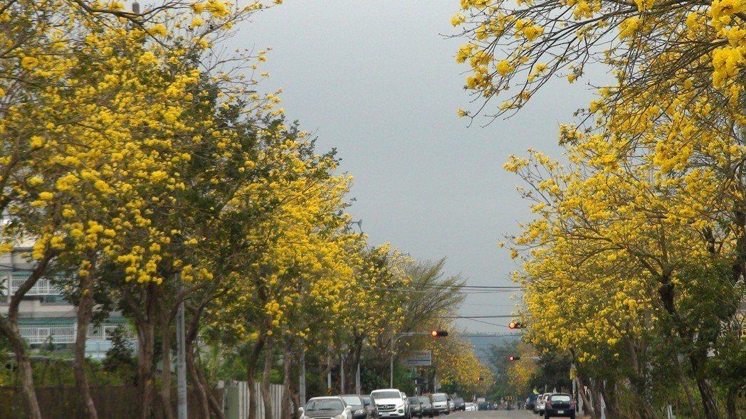 中埔鄉仁義路的黃花風鈴木,沿伸到八掌溪堤防。記者謝恩得/攝影