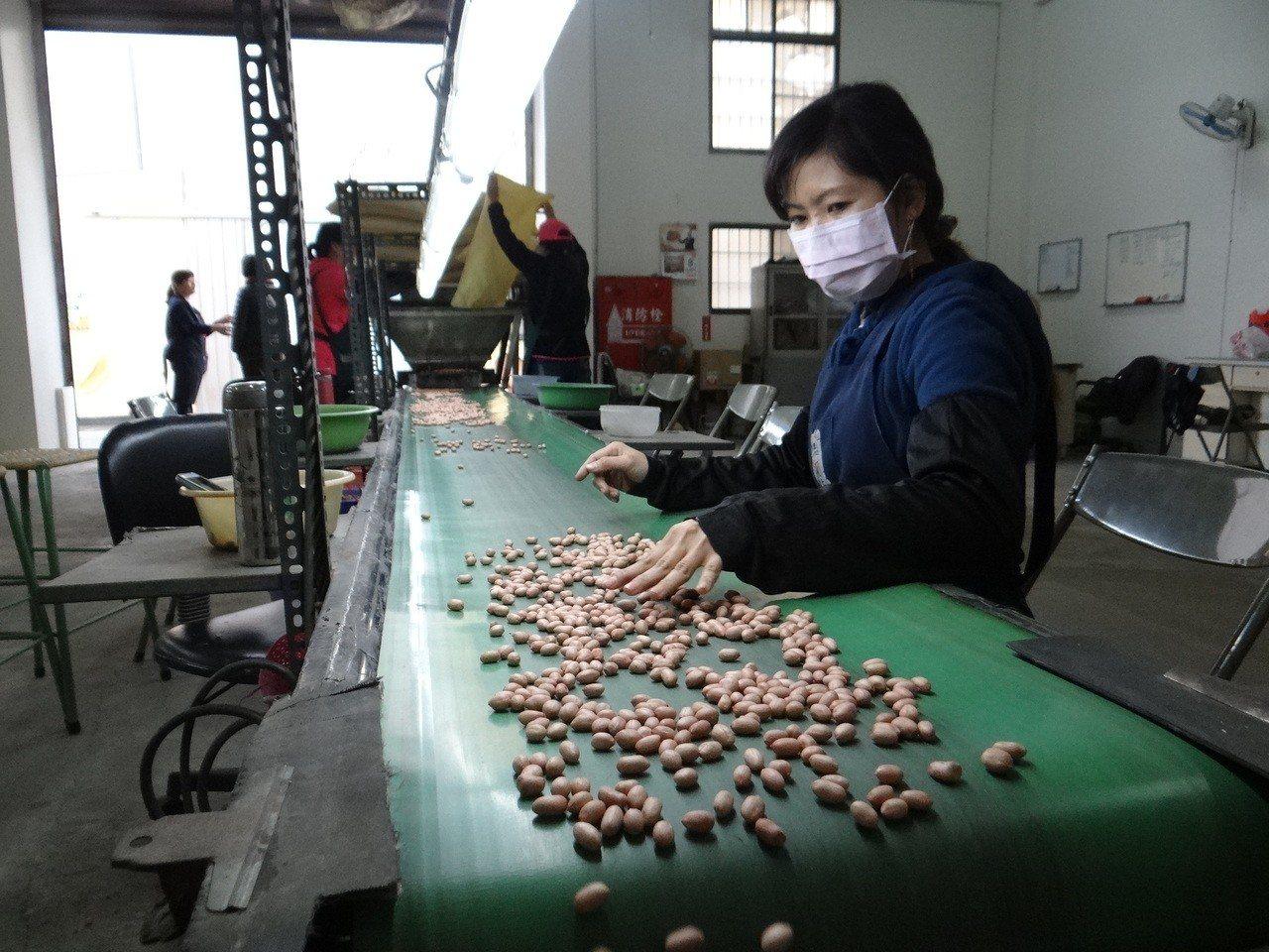 虎尾農會所產的花生產品,除電腦撿土豆,再由人工二度把關,品管十分嚴格。記者蔡維斌...