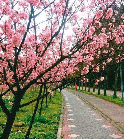 新北三峽北大校園的吉野櫻今年盛開。 圖/讀者提供