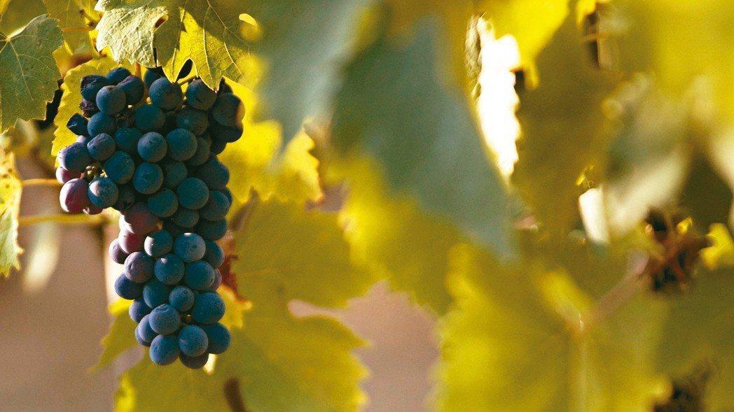 自然酒已成葡萄酒界的新趨勢。 圖/各業者提供
