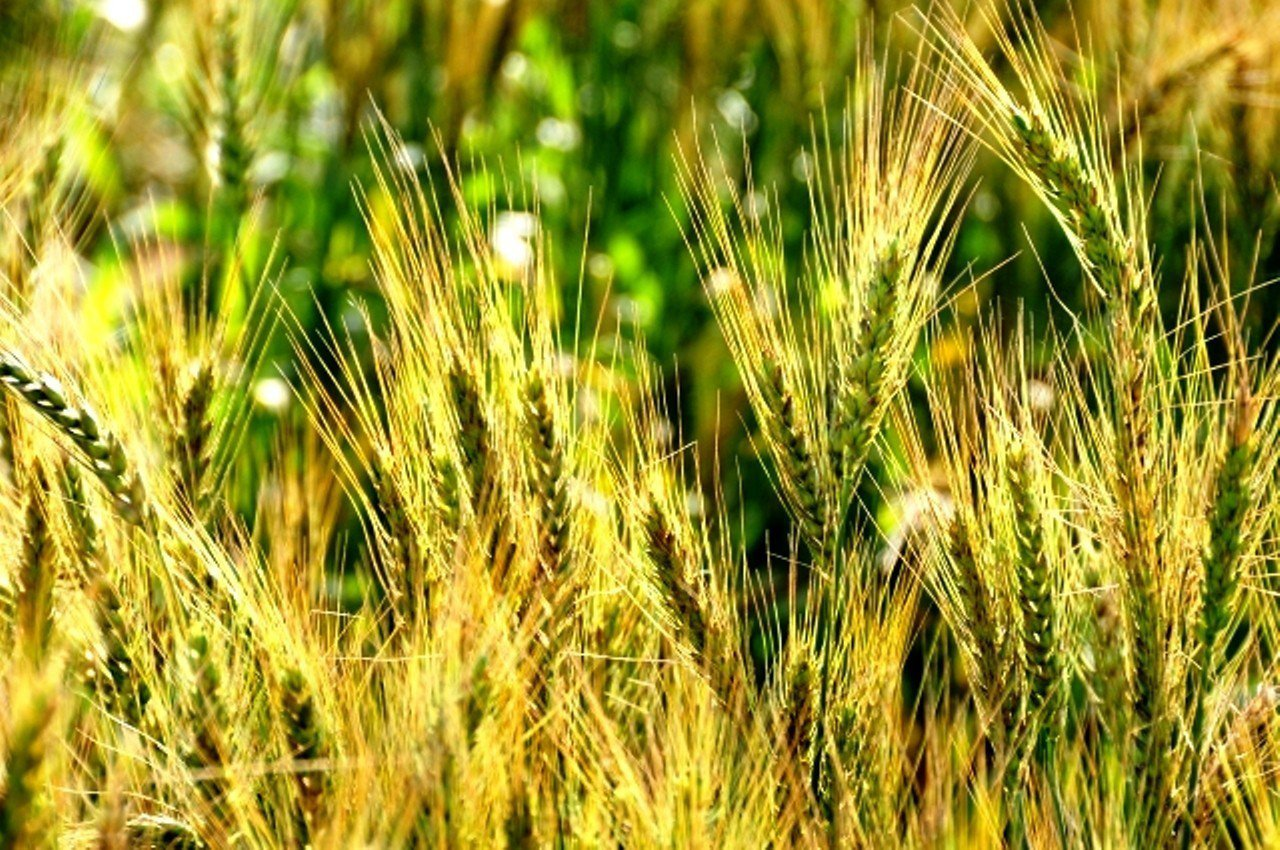 台中市大雅區是少見的麥田,麥穗已結實纍纍,本周將迎來黃金麥浪。記者黑中亮/攝影