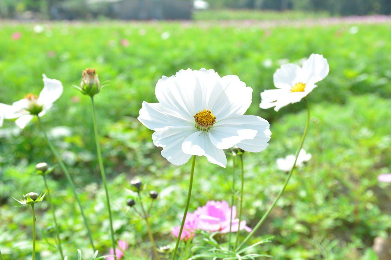 台南山上175道路旁栽種波斯菊正盛開。記者吳淑玲/攝影