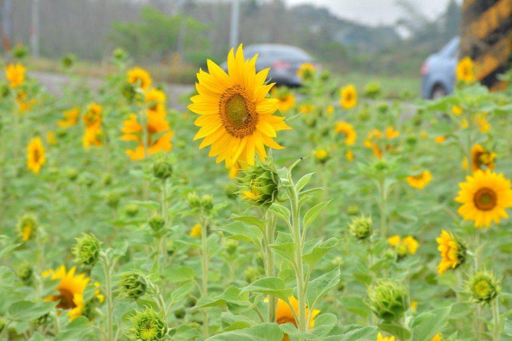 台南山上台20省道旁太陽花陸續盛開。記者吳淑玲/攝影