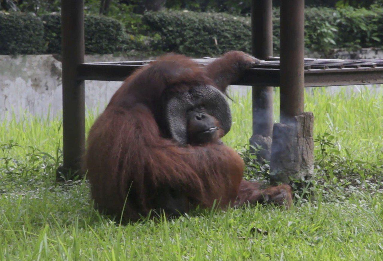 印尼萬隆動物園4日有一隻婆羅洲猩猩撿拾遊客菸蒂抽菸。美聯社