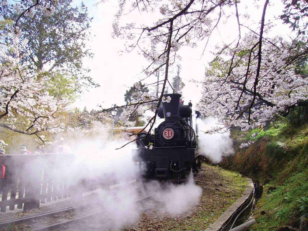 蒸汽火車在阿里山櫻花樹下奔馳。圖/林務局提供