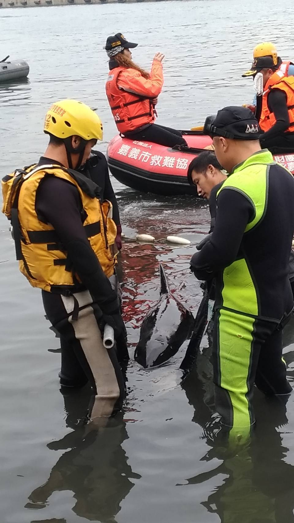 今年3月6日救援未果滯留高雄港區的三隻小虎鯨,在成功大學海洋生物及鯨豚中心的鯨豚...