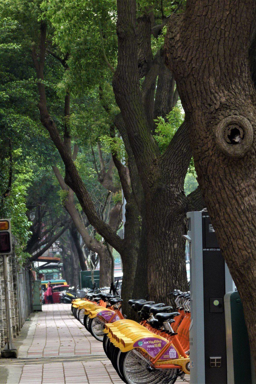 西園路上的樟樹又綠又茂密。記者鄭國樑/攝影