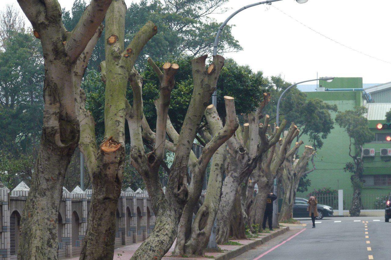 57巷的行道樹被截,和西園路上綠意盎然的樟樹形成對比。記者鄭國樑/攝影