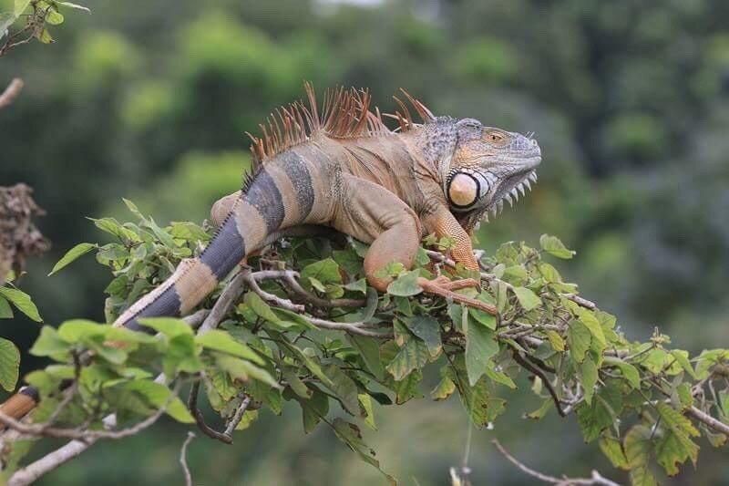 台南野外綠鬣蜥沿著三爺溪往外擴散。圖/台南市農業局提供