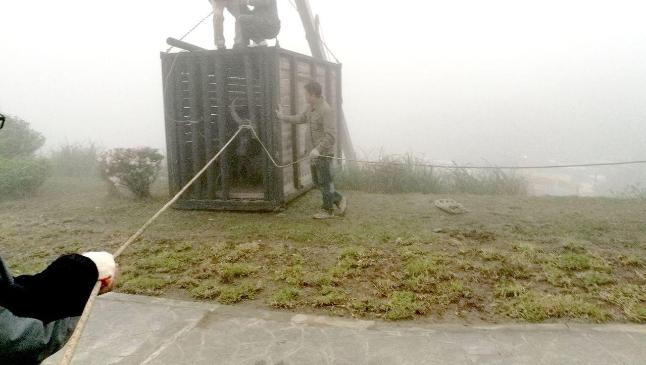 近日疑似天氣太冷,陽明山擎天岡水牛群在山上待不住躲下山,造成農損,近日才由耆老出...