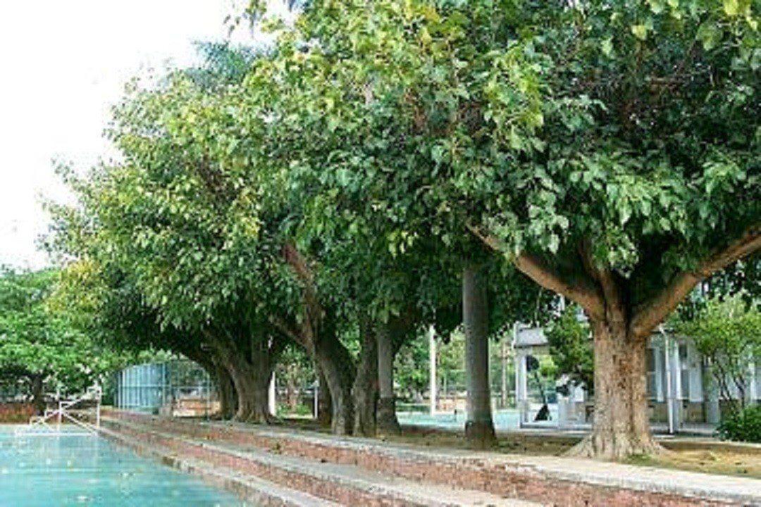 行道樹長好以後的示意圖。圖/中壢區公所提供