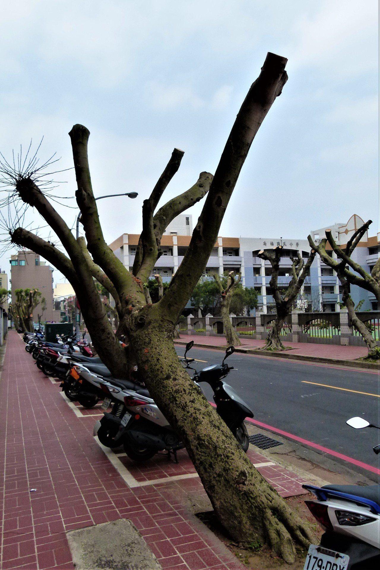 有的行道樹傾斜,公所表示專業公司截修後再長出新的枝葉時會變好看。記者鄭國樑/攝影