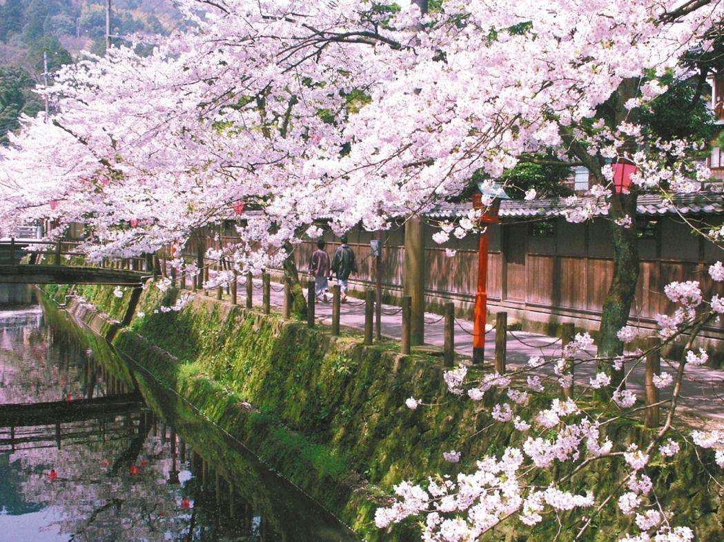 日本即將於3月中起迎來一年一度的賞櫻季。圖/報系資料照