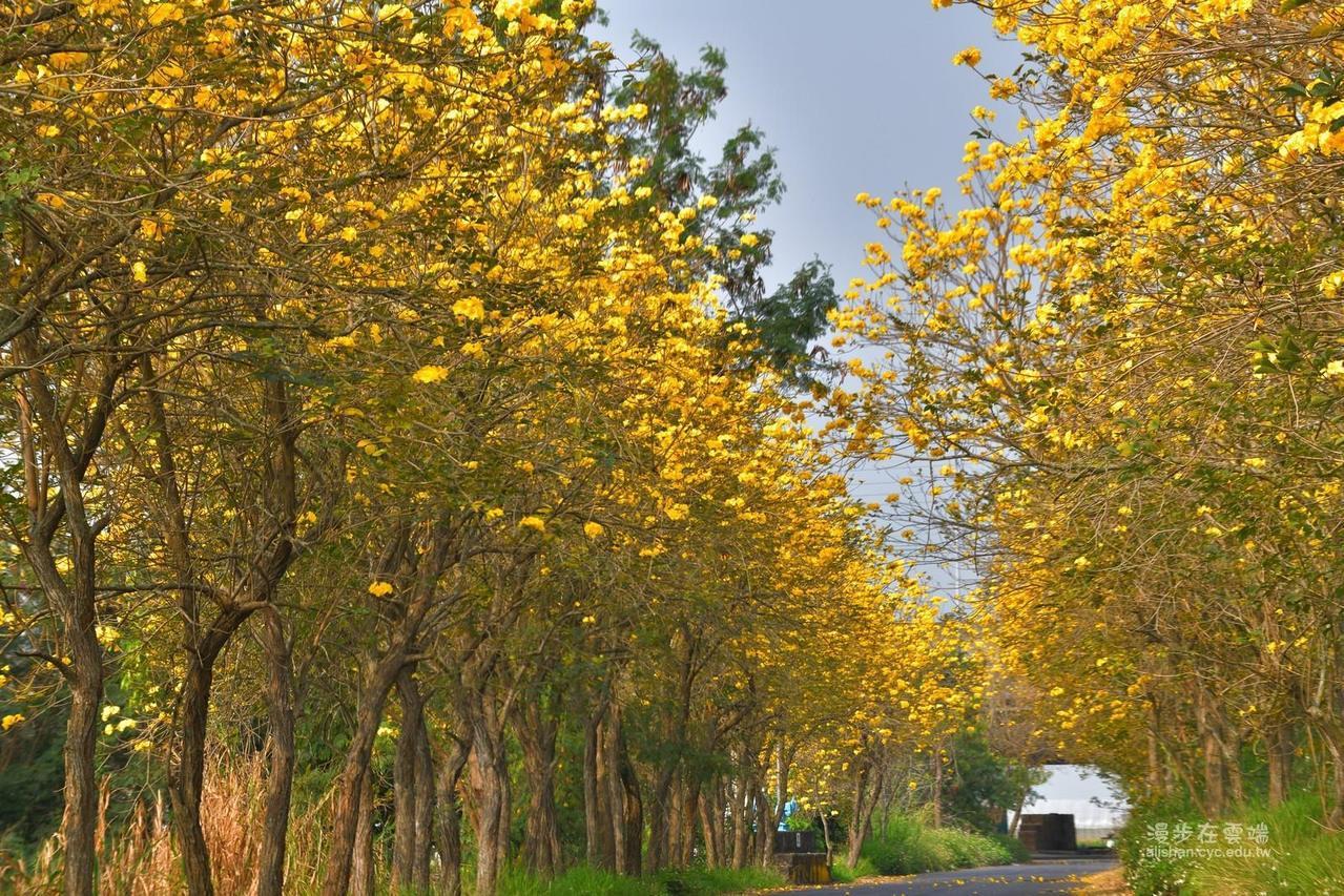 太保溪南堤防防汛道路亦是近年爆紅的賞花景點。圖/《漫步在雲端的阿里山》授權提供